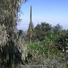 Lobelia bambuseti