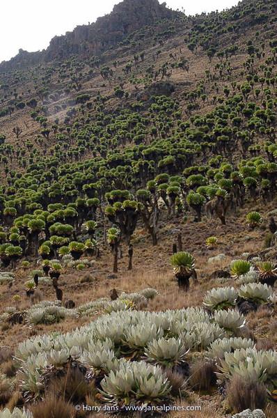 Dendrosenecio keniensis (front) + D.  keniodendron (back)