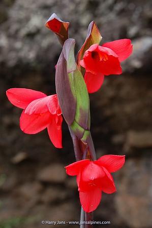 Gladiolus watsonioides