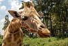Giraffe Licks