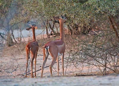 Gerenuk, Namunyak Conservancy