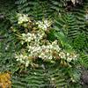 Haplosciadium abyssinicum