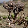 """dead """"tree like"""" Dendrosenecio keniodendron"""