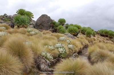 Dendrosenecio keniodendron + D. keniensis (front)