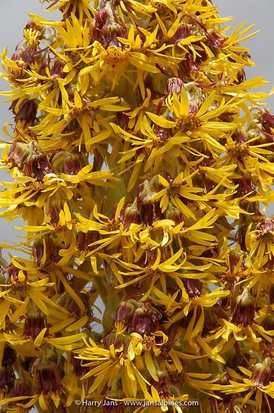 Dendrosenecio keniensis (brassica)