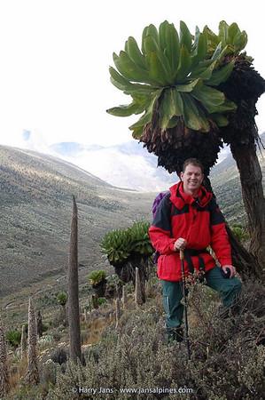 Dendrosenecio keniodendron