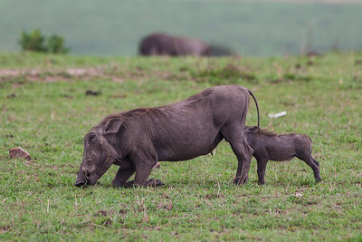 Masai Mara, Kenya A Warthog kneels while digging for roots while her baby nurses.