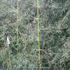 Yushania alpina (Bamboo)