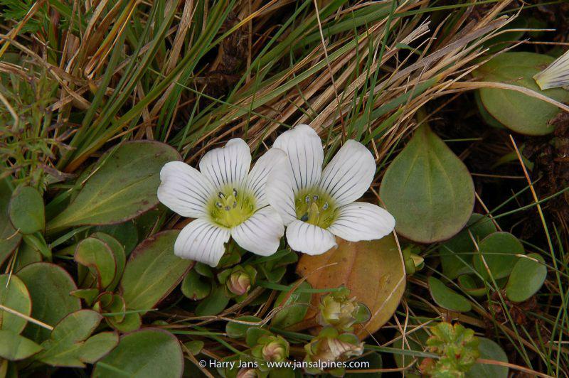 Swertia crassiuscula