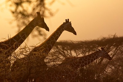Journey of Giraffe at sundown