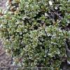 Alchemilla argyrophylla