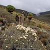 Helichrysum spec. ?