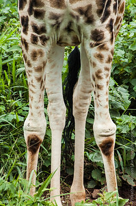 Giraffe Knees