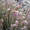 Blaeria filago (Erica)