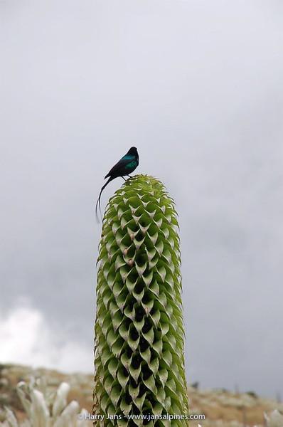 Lobelia keniensis + sunbird