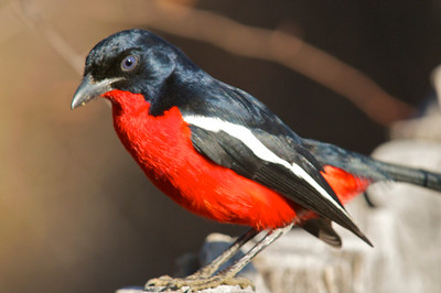 Crimson-breasted Gonolek