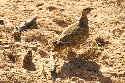 Burchell's Sandgrouse Hen & Chick