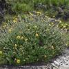 Berkheya rosulata