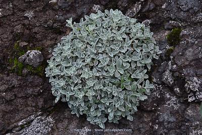 Helichrysum cf. sutherlandii