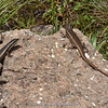 Trachylepis varia (Variable skink)
