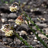 Glumicalyx montanus