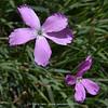 Dianthus basuticus