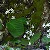 Streptocarpus pusillus