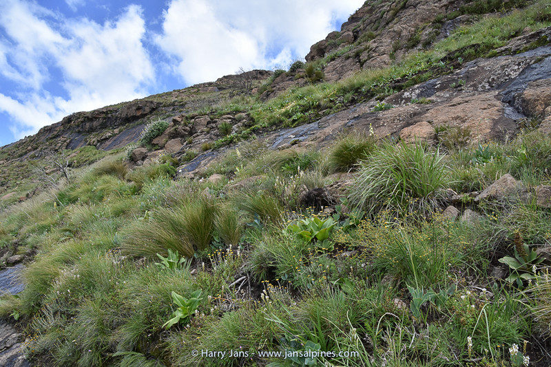 habitat Galtonia regalis & Eucomis bicolor