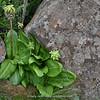 Eucomis bicolor