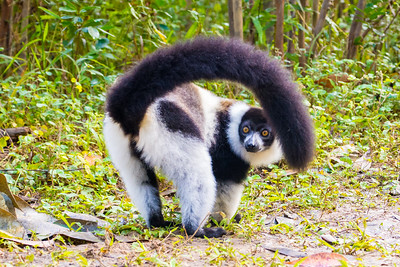 White Ruffed lemur butt