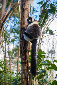 White Ruffed lemur. Strangely, it has a ringed tail