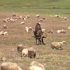 Berber shepherd.