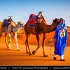 Africa - Morocco - Er Rachidia - Sahara Desert - Merzouga - Sand Dunes of Erg Chebbi - One of Morocco's two Saharan ergs - Large sea of dunes formed by wind-blown sand - 150 m high dunes are beginning for classic sahara setting - Man of the desert - Local Bedouin in blue walking through desert with camels