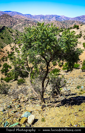 Africa - Morocco - Southwest - Arganeraie forest - UNESCO biosphere reserve - Argania - Iconic Moroccan thorny trees with gnarled trunks and wide spreading crown with Argan fruit in very hard nut