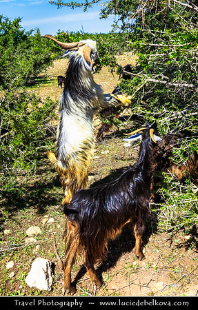 Africa - Morocco - Southwest - Arganeraie forest - UNESCO biosphere reserve - Argania - Iconic Moroccan thorny trees with gnarled trunks and wide spreading crown with Argan fruit in very hard nut - Moroccan goats stand up and climb up local argan trees