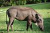 Warthog, Chobe