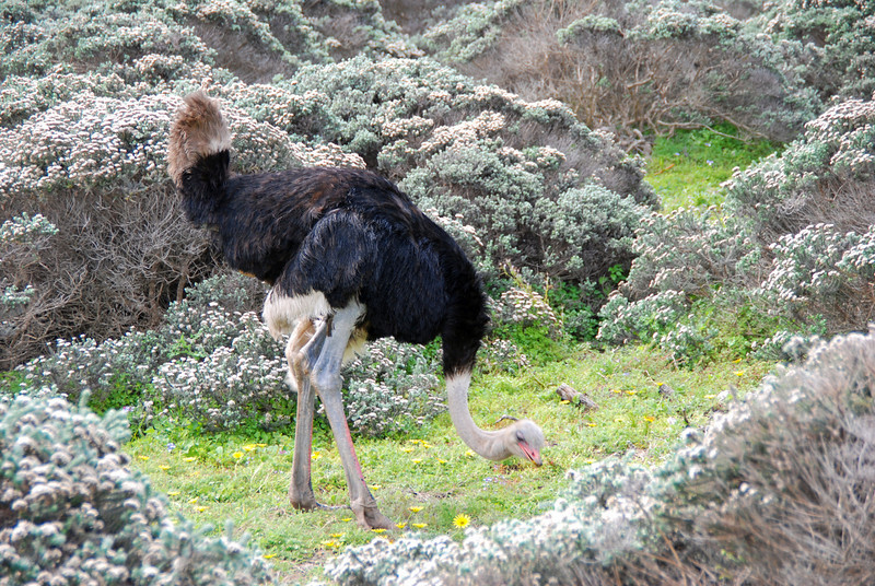 Ostrich near Cape Point
