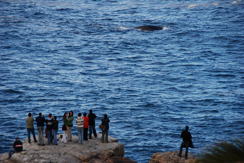 A Southern Right Whale, Hermanus