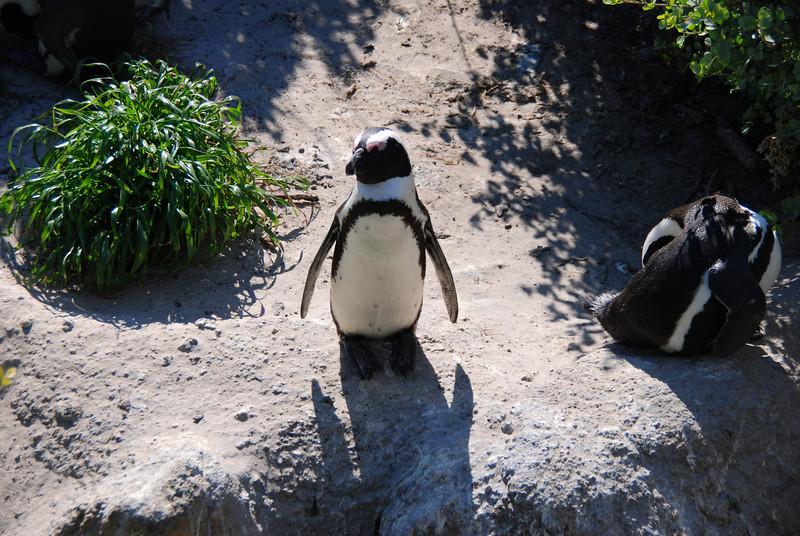 Penguin at Boulder