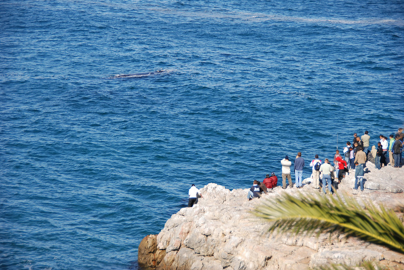 Whale Watchers, Hermanus