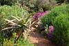 Succulents in Kirstenbosch Gardens