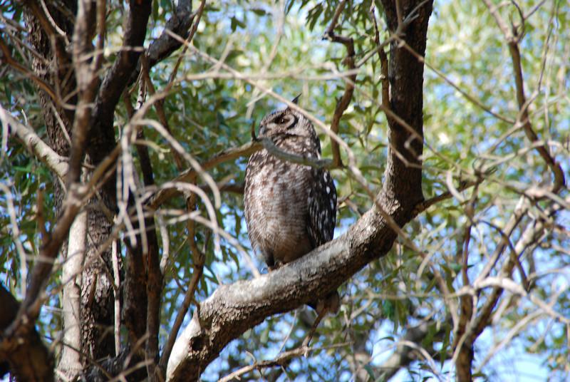 Owl in Kirstenbosch Gardens