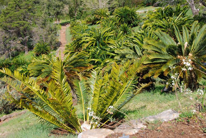 Ferns in Kirstenbosch Gardens