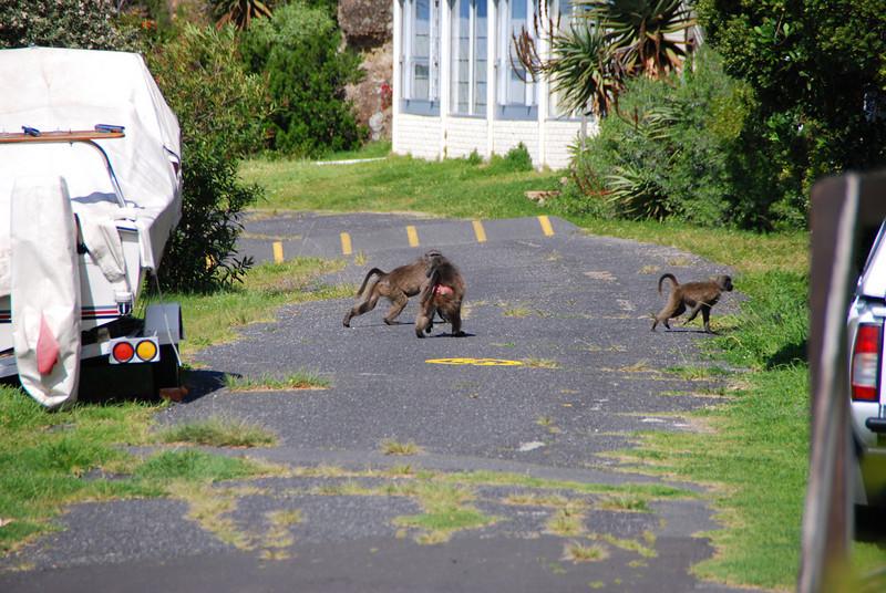 Hungry Baboons at Simon Town