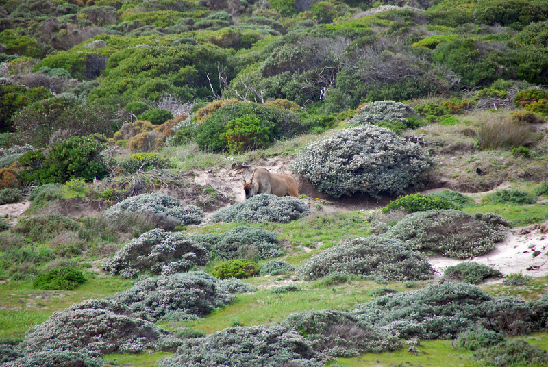 Eland near Cape Point