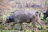 Buffalo, Inyati Game Reserve