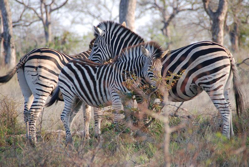 Zebra Family, Inyati Game Reserve