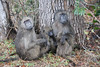 Baboon Kruger National Park