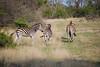 Zebra, Inyati Game Reserve