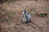 Vervet Monkeys, Kruger National Park